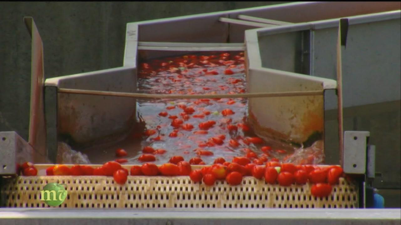 La lavorazione dei pomodori
