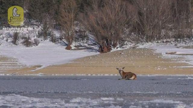 L'Aquila, cerva intrappolata nel lago ghiacciato: in salvo grazie ai guardiaparco
