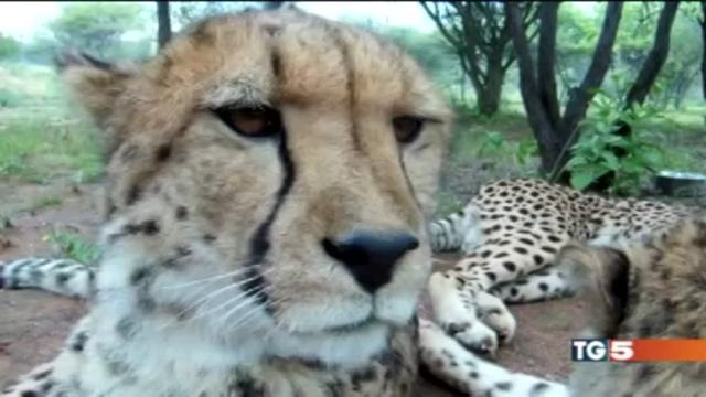 La scomparsa del ghepardo