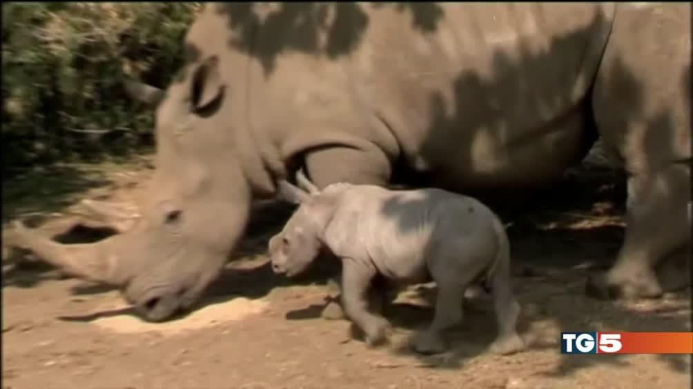 Il piccolo rinoceronte bianco