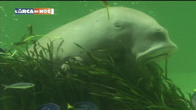I dugonghi