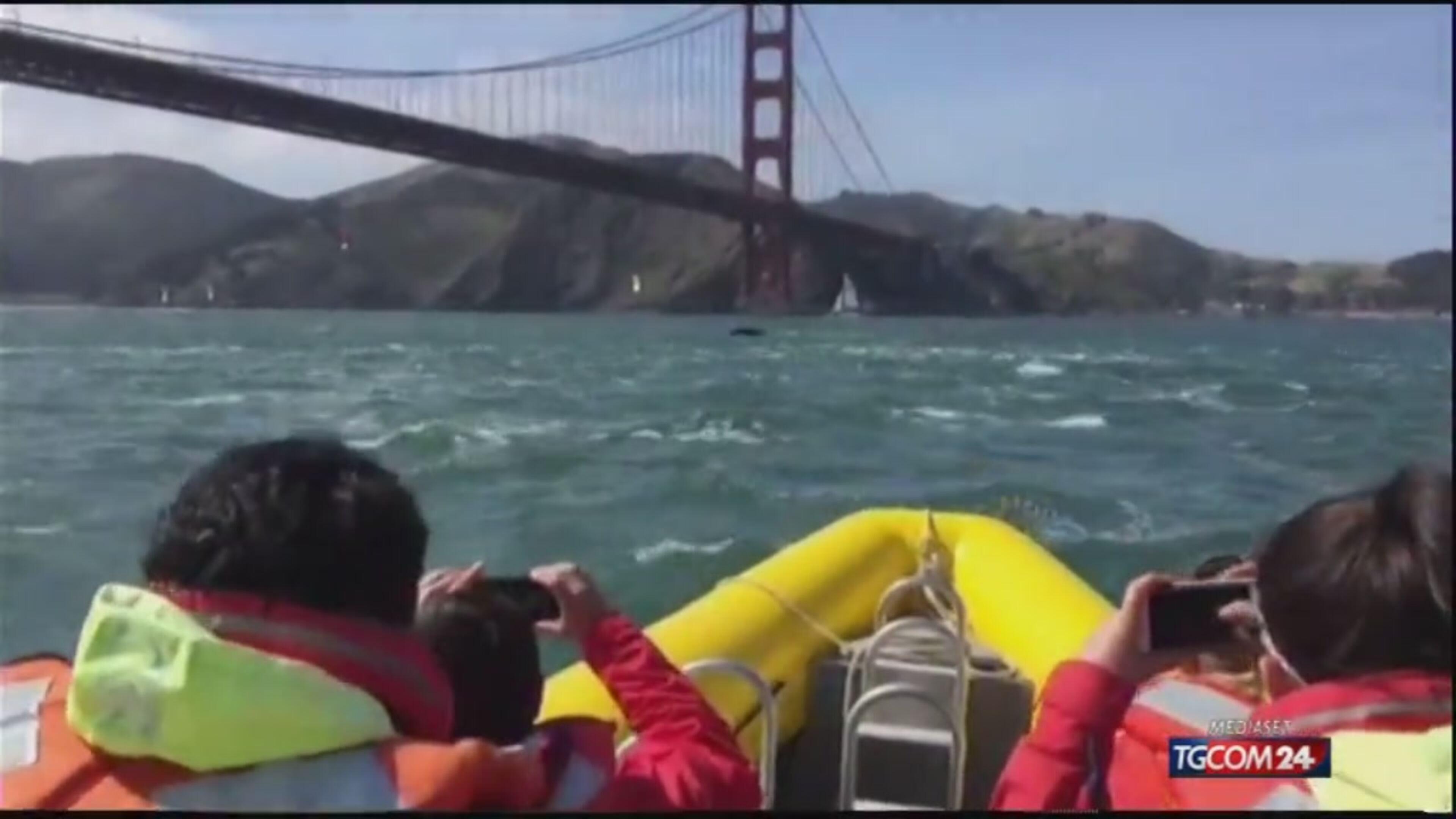 Megattere nella baia di San Francisco sorprendono i presenti