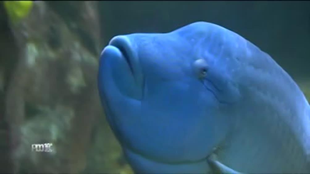 Il pesce napoleone