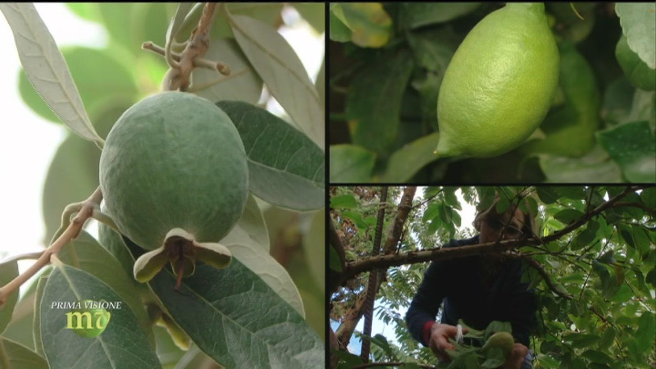 Frutti tropicali di Calabria