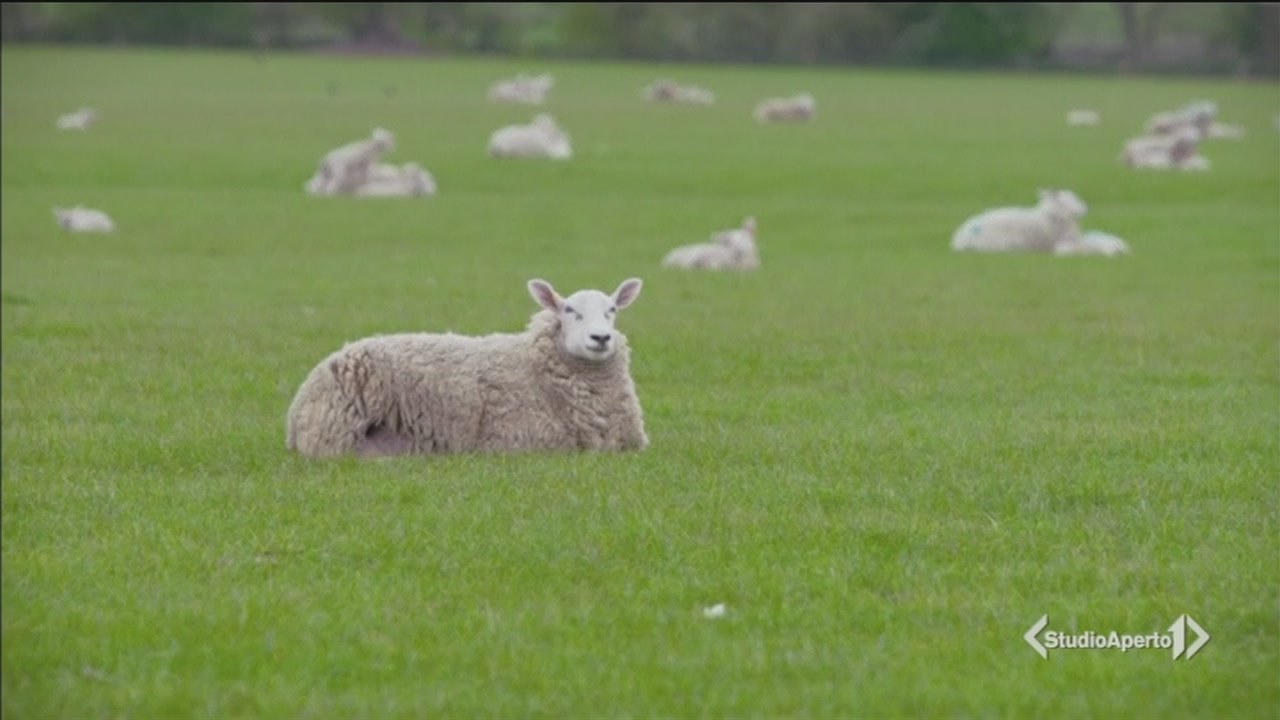Un cast di pecore per la parodia di Lalaland!