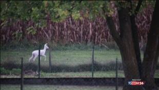 Avvistato a Belluno raro capriolo albino