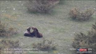 Nel Parco Nazionale d'Abruzzo le effusioni degli orsi innamorati