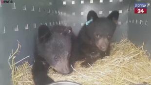 Canada, due cuccioli di orso rimasti orfani intrappolati su un abete altissimo: salvati