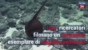 Usa, ricercatori filmano un rarissimo esemplare di anguilla pellicano