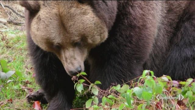 L'orso 'Papillon' ancora in fuga