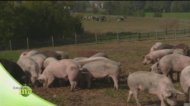 L'allevamento di maiali
