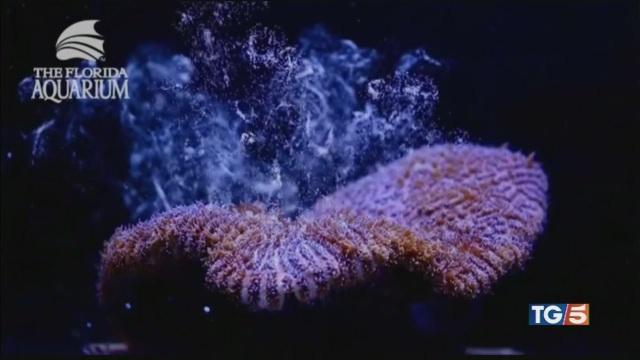 Ripopolare le barriere coralline