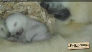 Il primo sorriso dell'orsetto polare