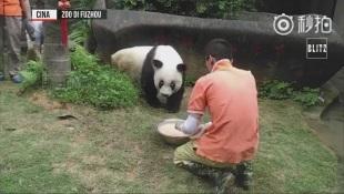 Addio a Basi, è morto il panda più vecchio del mondo, aveva
