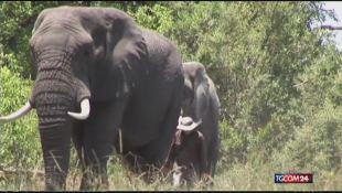 Elefanti africani decimati dai bracconieri