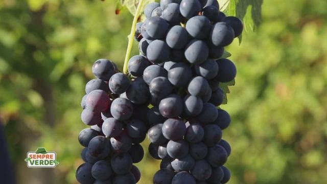 L'uva della Val Tidone