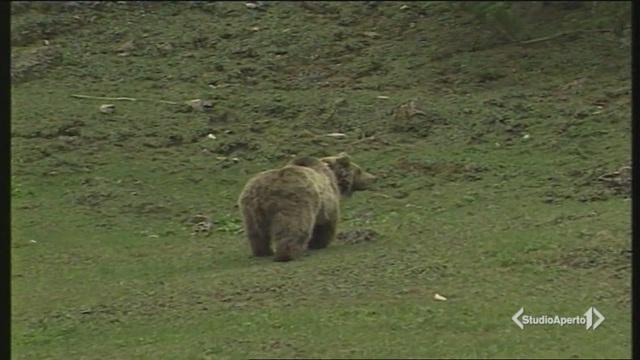 Trentino, caccia all'orso in fuga