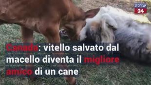 Canada: vitello salvato dal macello diventa il migliore amico di un cane