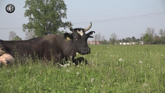 'Salvateci o ci abbattono': l'appello delle 100 mucche in ostaggio a Pasqua