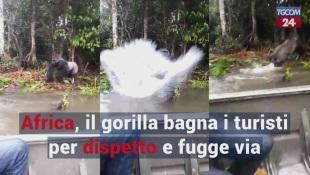 Africa, il gorilla bagna i turisti per dispetto e fugge via