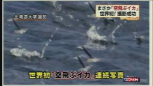 Dal Giappone i calamari volanti