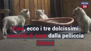 Cina, ecco i tre dolcissimi cuccioli di tigre dalla pelliccia bianca