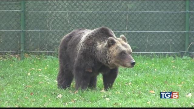 Caccia all'orso in fuga e un bacio da vergogna
