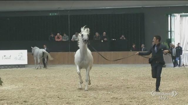 Il campionato mondiale di cavalli arabi