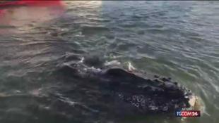 California, balena intrappolata nel porto
