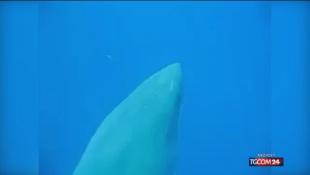 Hawaii, avvistato lo squalo bianco più grande al mondo