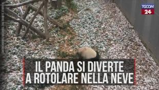 Washington, il panda gigante si diverte a rotolarsi nella neve