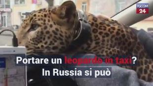 Portare un leopardo in taxi? In Russia si può