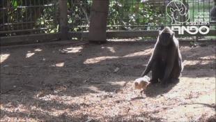 La strana amicizia tra una scimmia e un pulcino
