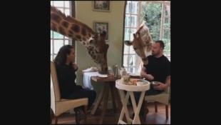È permesso? Due giraffe si intrufolano dalla finestra per assaggiare la colazione dei turisti