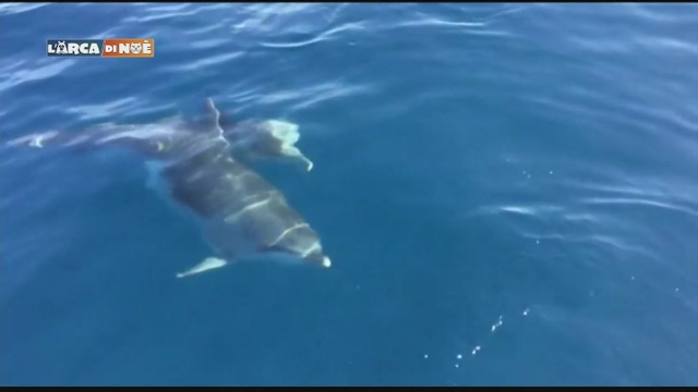 Il delfino di Golfo Aranci