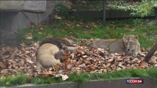 Zoo di Indianapolis, leonessa uccide il leone padre dei suoi cuccioli