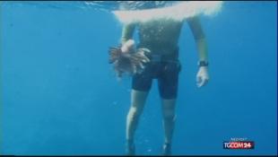 Pesce scorpione nelle acque italiane